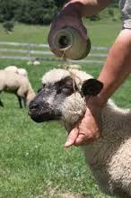 Anointing head of sheep